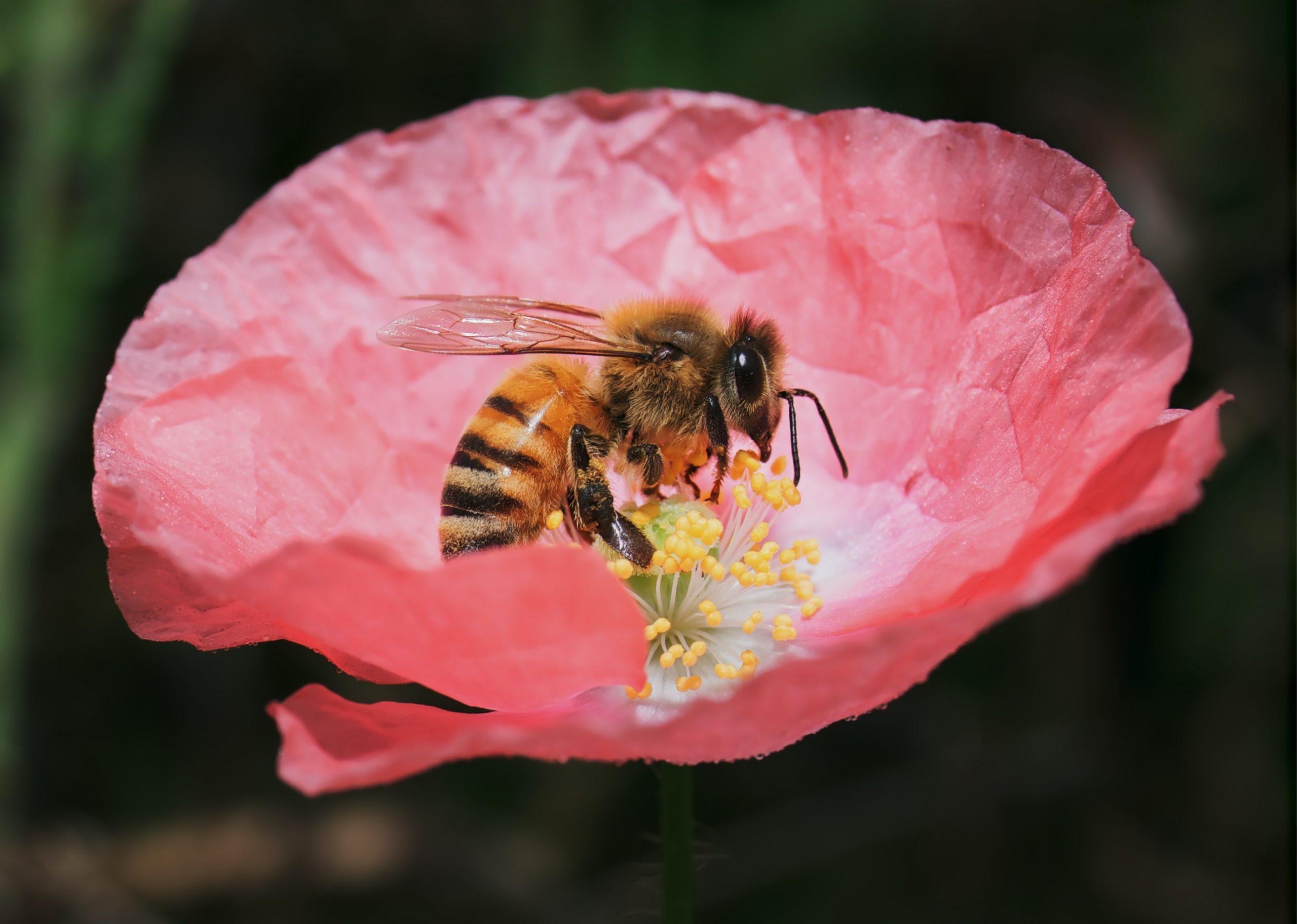 Il faut remonter à plus de 120 millions d'années pour retrouver une parenté de l'abeille, qui était une guêpe primitive. C'est à ce moment précis qu'elle a commencé à jouer son rôle fondamental dans l'écosystème. Aujourd'hui, l'abeille est essentielle à la vie humaine mais elle est aussi fortement menacée par elle-même. Un célèbre physicien Einstein aurait dit « si l'abeille disparaissait de la surface de la terre l'homme n'aurait plus que 4 années à vivre »