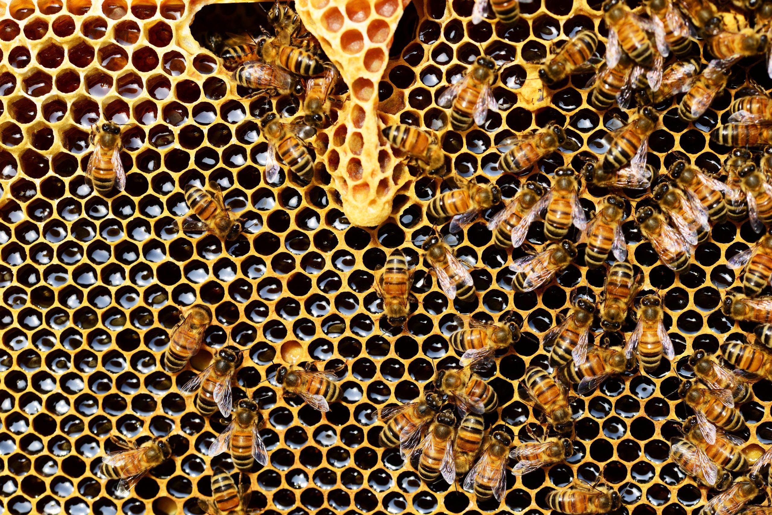 Dénommés sous le terme générique depesticides (insecticide, herbicide, fongicide…): Encore beaucoup de produits phytosanitaires sont accusés d'être des perturbateurs neuroleptiques des abeilles, mais ne sont cependant pas interdits. Plusieurs études européennes et mondiales ont essayé de comprendre l'impact des produits phytosanitaires sur les abeilles.Les études s'accordent à dire que la famille des produits de typenéonicotinoïdes, qui sont des insecticides parmi les plus utilisés dans l'agriculture et qui agissent sur le système nerveux altèrent lacapacitéd'orientation des insectes. De plus, ils sont hautement néfastes pour lespolarisateurs.Cependant, les abeilles ne sont pas les seules touchées puisque l'ensemble de la biodiversité est impactée tels que les animaux rampants, volants, et nageants. Etuden°1,Etuden°2,Etuden°3 En France, des mesures ont été prises à partir de 2016 avec la mise en œuvre de la« Loi de la reconquête de la biodiversité, de la nature et des paysages» . Cette loi est prévue pour interdire 7néonicotinoïdesdans les mélanges ou semences traitées.